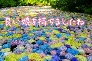 娘から両親へプレゼント 岩手で紫陽花を愛でる旅