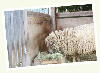 ペット羊の六甲くん