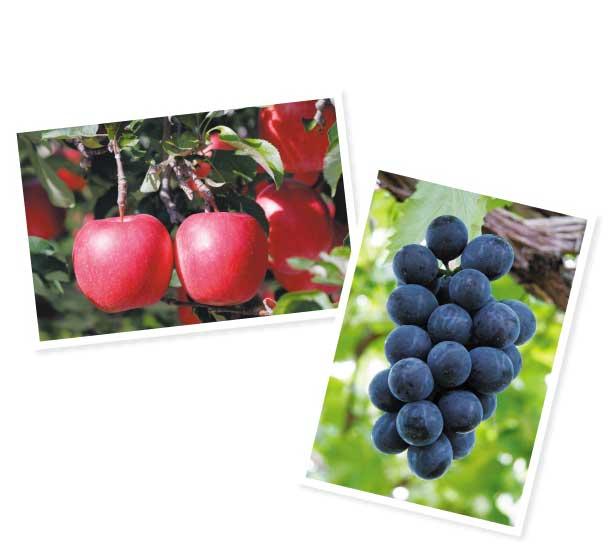 8月下旬~9月は、大粒ブドウやリンゴ狩りが楽しめる