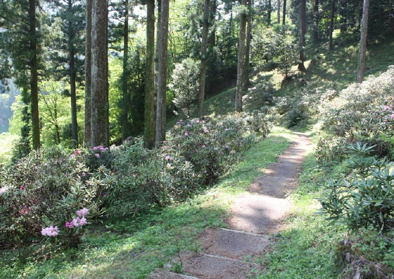 大井平公園に咲き誇るピンクのかわいいシャクナゲ