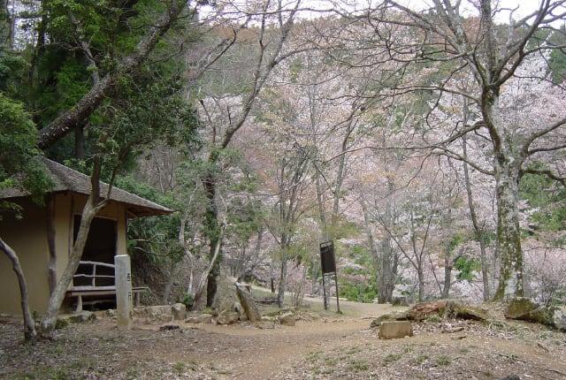 吉野山のシロヤマザクラ